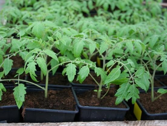 Sējas dienas tomātiem, gurķiem, ķirbjiem, kāpostiem u.c.