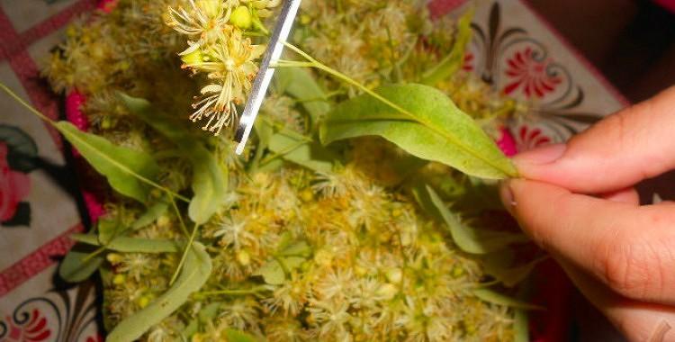 Liepziedu tējas dziednieciskās īpašības