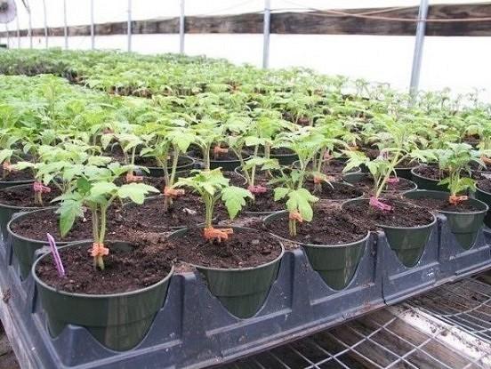 Tomātu audzēšana ar divu sakņu sistēmas palīdzību
