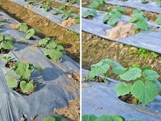 Kā audzēt gurķus uz plēves