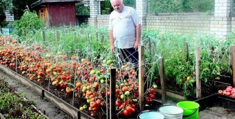 Sen aizmirsta metode tomātu laistīšanai