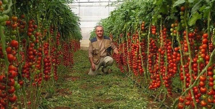 7 ieteikumi bagātīgai tomātu ražai