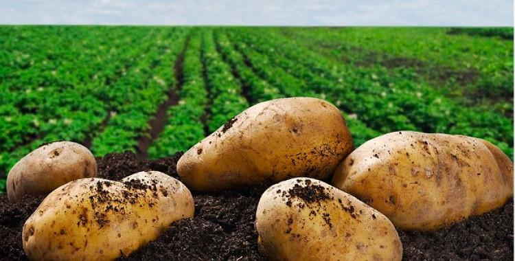 Trīs labākās kartupeļu šķirnes