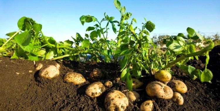 Vai no kartupeļu krūma ir iespējams savākt septiņus kilogramus kartupeļu?
