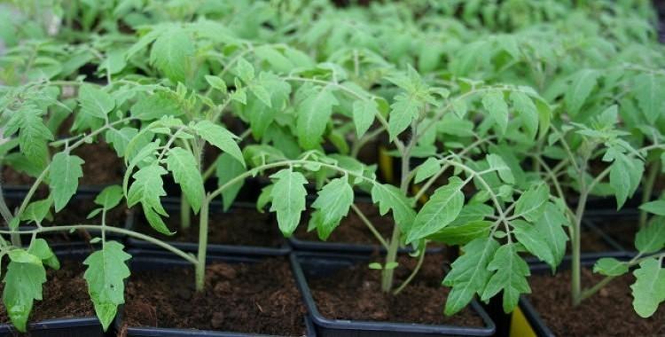 Sējas dienas tomātiem, gurķiem, ķirbjiem, kāpostiem 2020.gadā