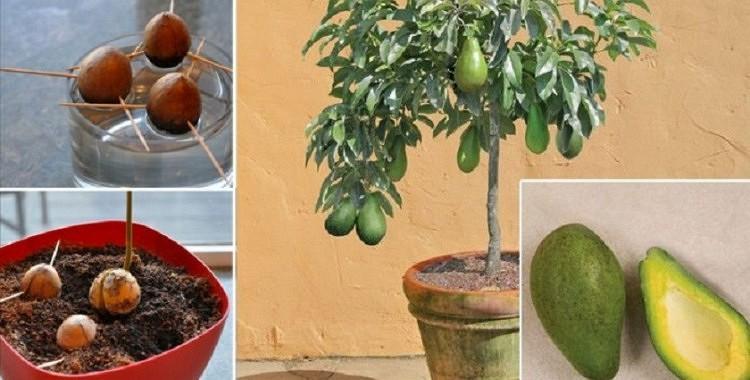Kā mājas apstākļos izaudzēt avokado