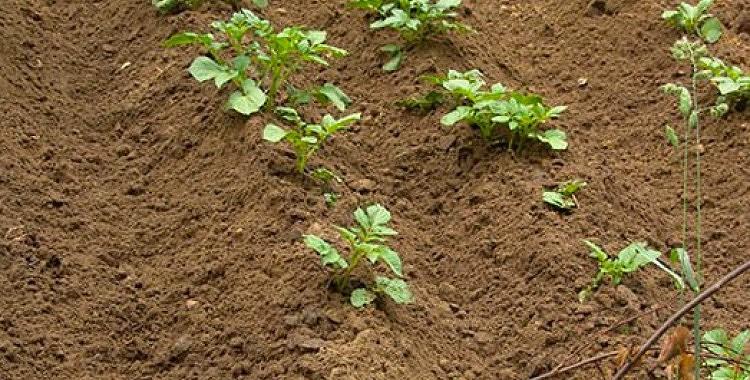 Sagatavojam kartupeļus stādīšanai