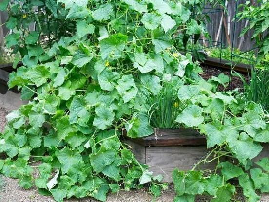 Gurķu audzēšanas veidi nelielas platības dārziņos