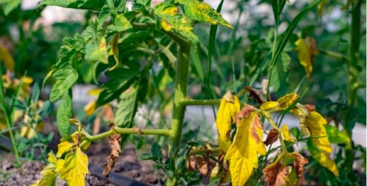 Kāpēc tomātiem dzeltē lapas