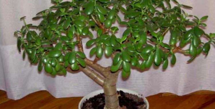 """Krasula jeb """"Naudas koks"""" - ārstē vai indē?  Tas jāzina visiem!"""
