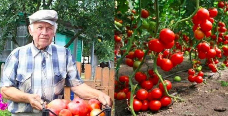 Senču padomi bagātīgai tomātu ražai: 5 pārbaudīti triki