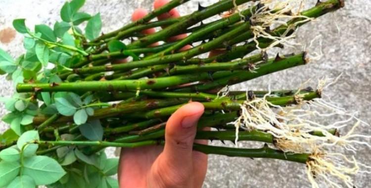 Neparasts, bet efektīvs rožu apsakņošanas variants