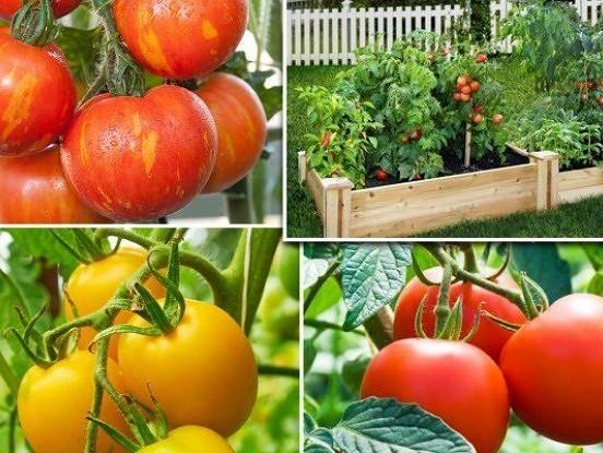 Desmit soļi pareizai tomātu stādīšanai un audzēšanai. Liela raža garantēta! Noskatieties video.