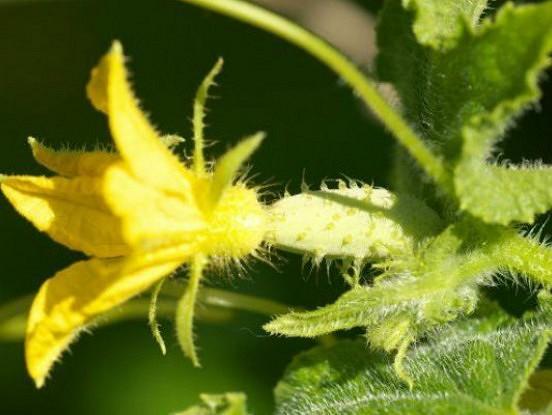 Seši iemesli, kādēļ gurķi dod sliktu ražu