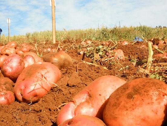 Izmantojiet šo mēslojumu un iegūsiet bagātīgu kartupeļu ražu!