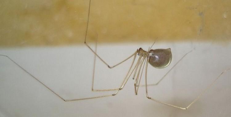 Entomologs skaidro, kāpēc nedrīkst nosist mājas zirnekļus